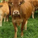 kravy-svycarsko-muska2.jpg