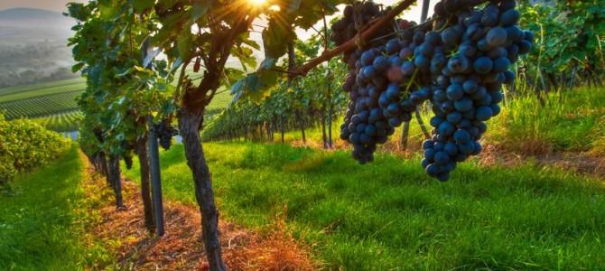 Pôsobenie zeolitu pri riešení nedostatku vlahy vo vinohrade