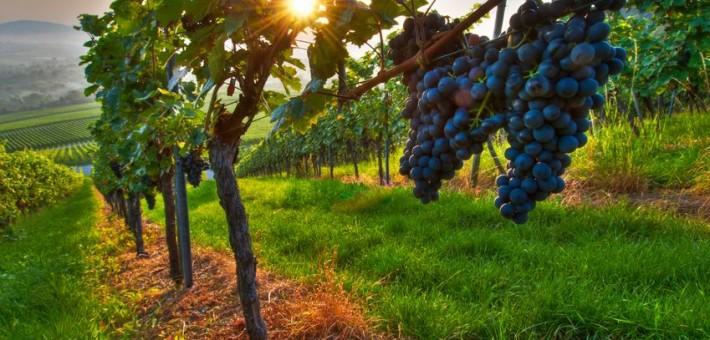 Wirkung von Zeolith bei der Lösung des Feuchtigkeitsmangels im Weinberg